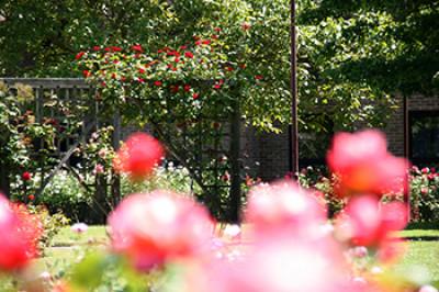 Darwin College rose garden