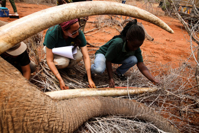 Measuring an elephant tusk during a collaring operation